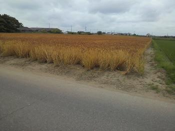 農林61号収穫直前.jpg